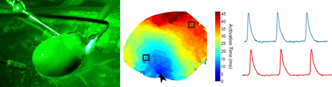 (A) Isolated, Langendorff-perfused whole rat heart. (B) Electrical conduction across the epicardial surface. (C) Optically mapped action potentials.
